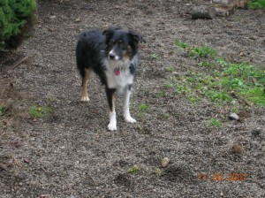 My beloved Shayla, who came from the pound herself.  Unfortunately, due to joblessness and a couple months of homelessness, Shayla had to be rehomed through Australian Shepherd Rescue and Placement Helpline.  She now lives in the Eugene area with a new family.