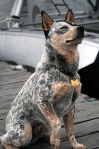 400px-australian_cattle_dog_sitting
