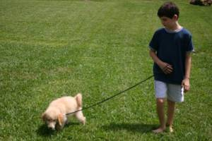 Even young pups can learn to walk on a loose leash