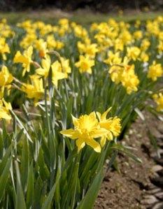 gl_daffodil038_main
