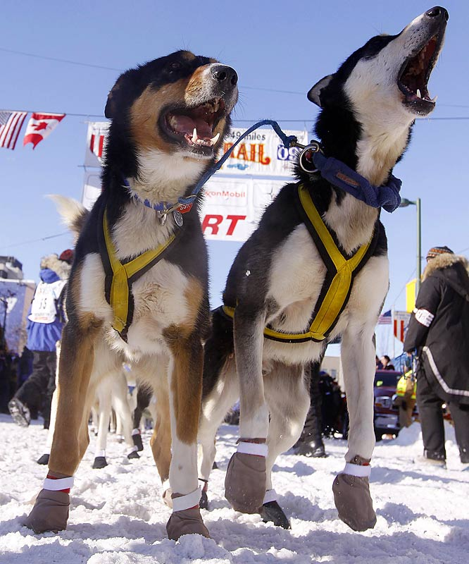 Iditarod Dogs For Sale